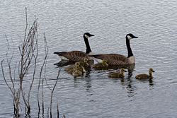 Grote Canadese gans - Wikipedia