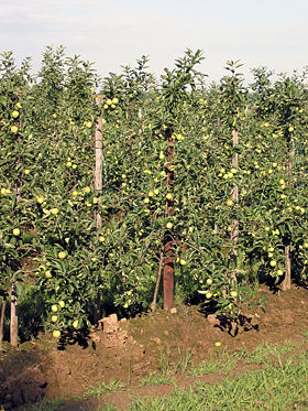 Appel (vrucht) - Wikipedia.