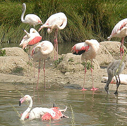 Flamingo - Wikipedia